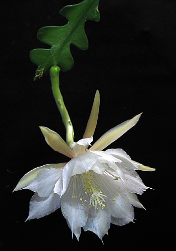 "//upload.wikimedia.org/wikipedia/commons/4/47/Epiphyllum_anguliger1Emma_Lindahl.jpg"" cannot be displayed, because it contains errors."