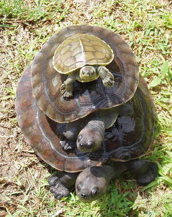 Three turtles of varying sizes stacked on top of each other with the largest at the bottom.