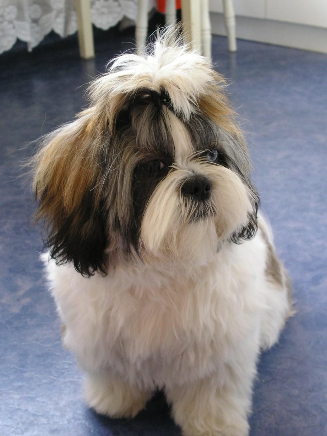 Shih tzu Fibi Shichon Puppies For Sale