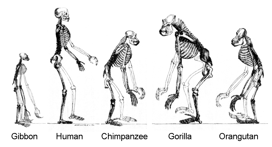 source: Wikipedia-evolution page