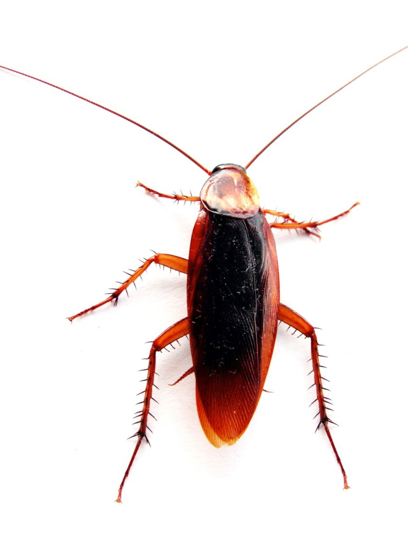 Cockroach Pictures