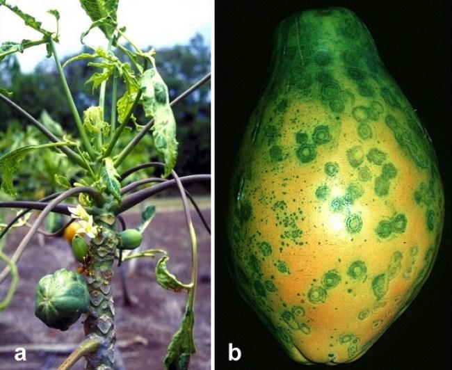 Papaya Ringspot Virus Symptoms.jpg