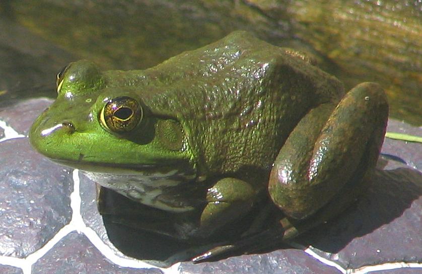 https://i2.wp.com/upload.wikimedia.org/wikipedia/commons/4/4a/American_Bullfrog_Rana_catesbeiana_Front_838px.jpg