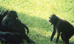 Macaca nigra conflit