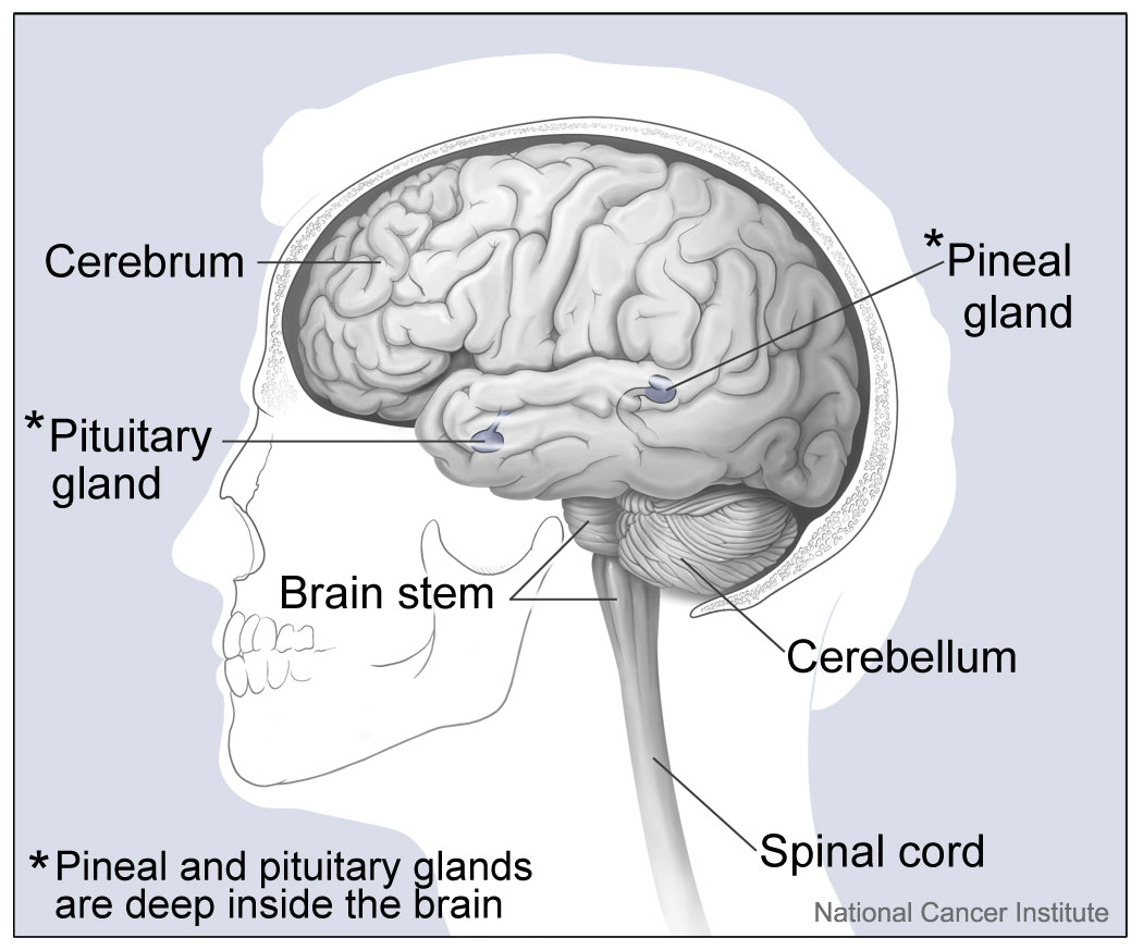 File Major Parts Of The Brain