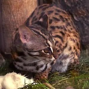 Kucing Hutan Terancam Punah