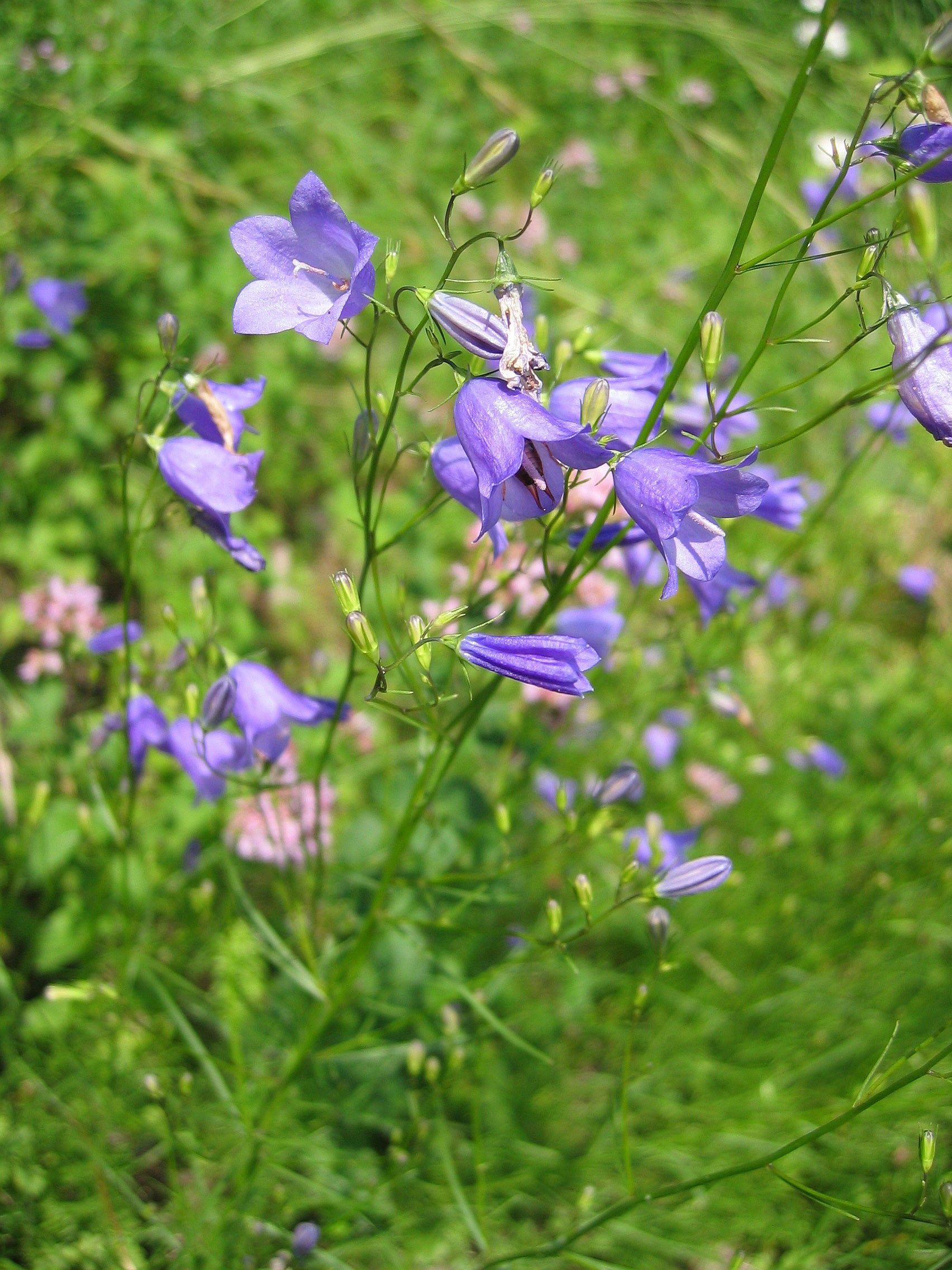 https://i2.wp.com/upload.wikimedia.org/wikipedia/commons/4/4b/Campanula_rotondifolia.jpg