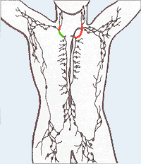 The lymphatic system, lymph vessels and lymph ...