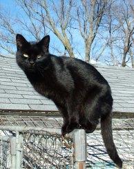 A fekete bunda elegáns viselet. A fekete macska a rágcsálók napját nagyon el tudja rontani (épp úgy, mint a színes) A kép forrása: Wikipédia