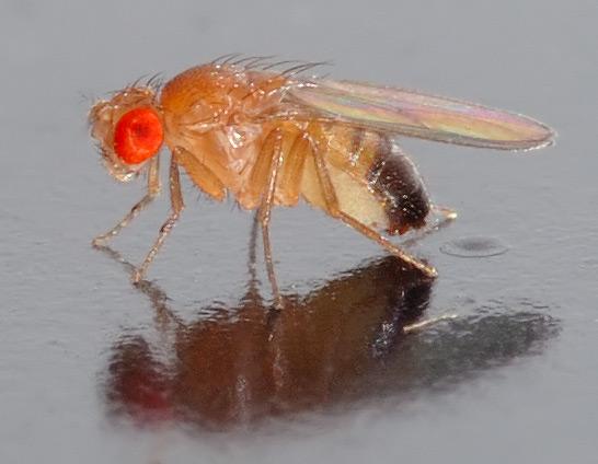 https://i2.wp.com/upload.wikimedia.org/wikipedia/commons/4/4c/Drosophila_melanogaster_-_side_%28aka%29.jpg