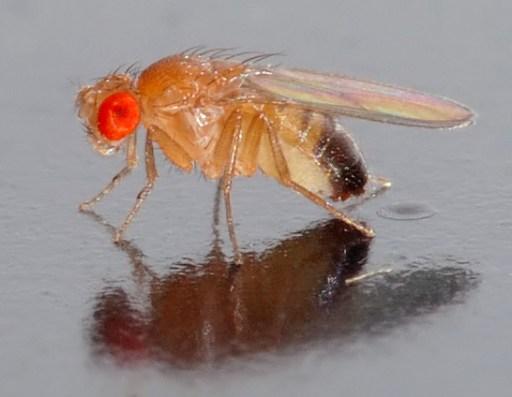 Drosophila melanogaster - side (aka)