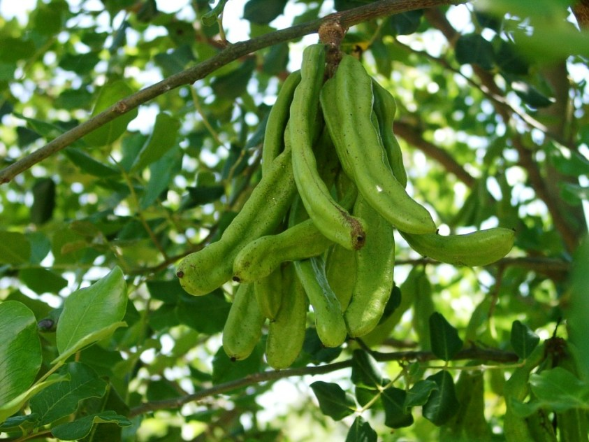 Carob Tree; Português: Alfarrobeira. Green pod...