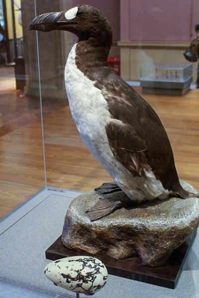 File:Great Auk (Pinguinis impennis) specimen, Kelvingrove ...