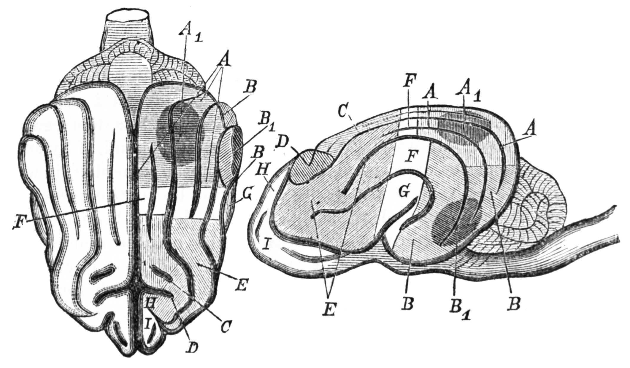File Psm V25 D628 Brain Of A Dog And Diagram Of Munk