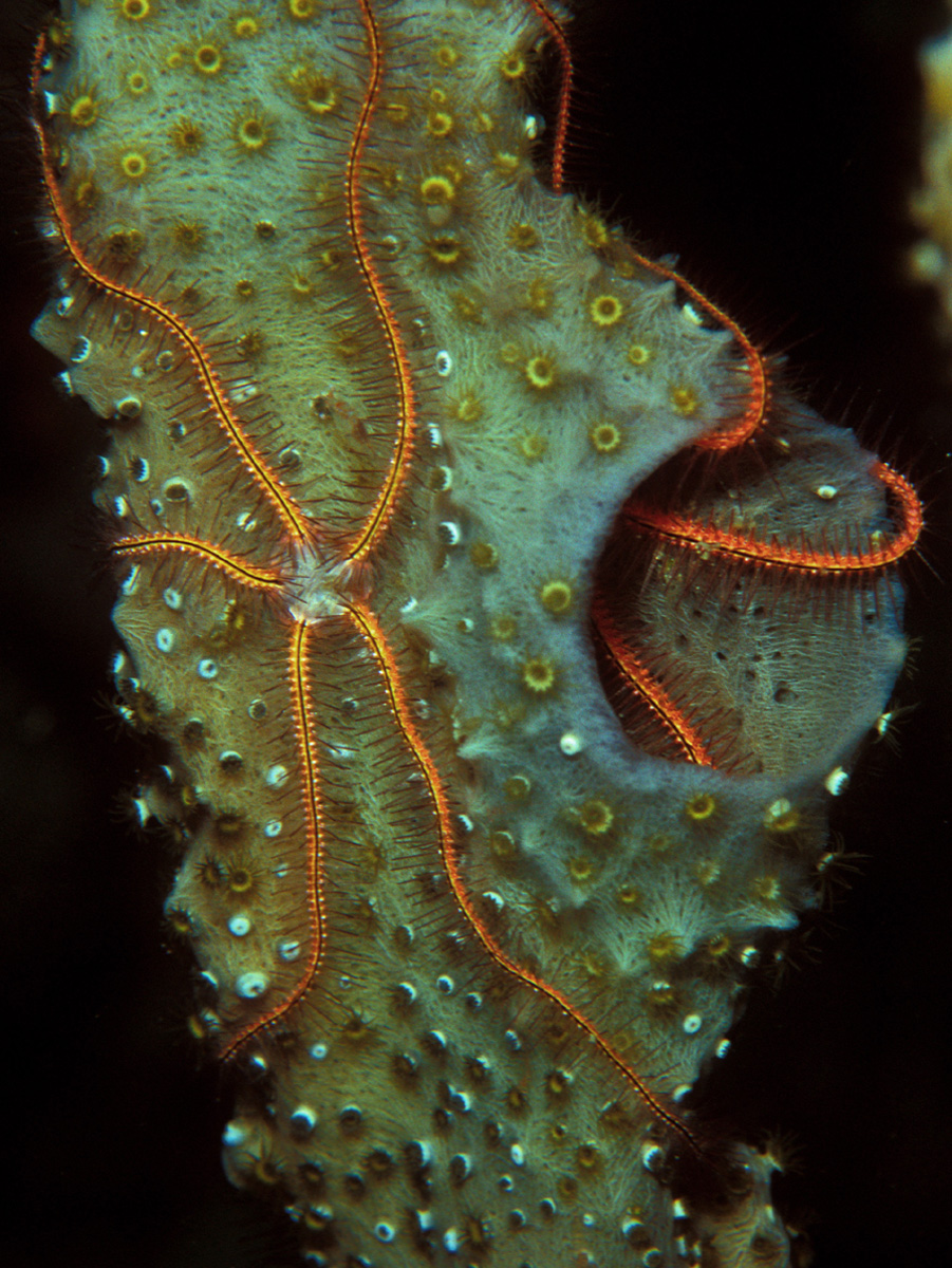 Brittle Star Simple English Wikipedia The Free Encyclopedia