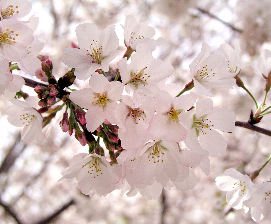 English: Cherry Blossom Flowers.