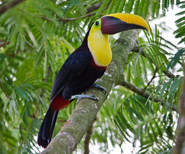Image result for Black-mandibled toucan (or Chestnut mandibled toucan)