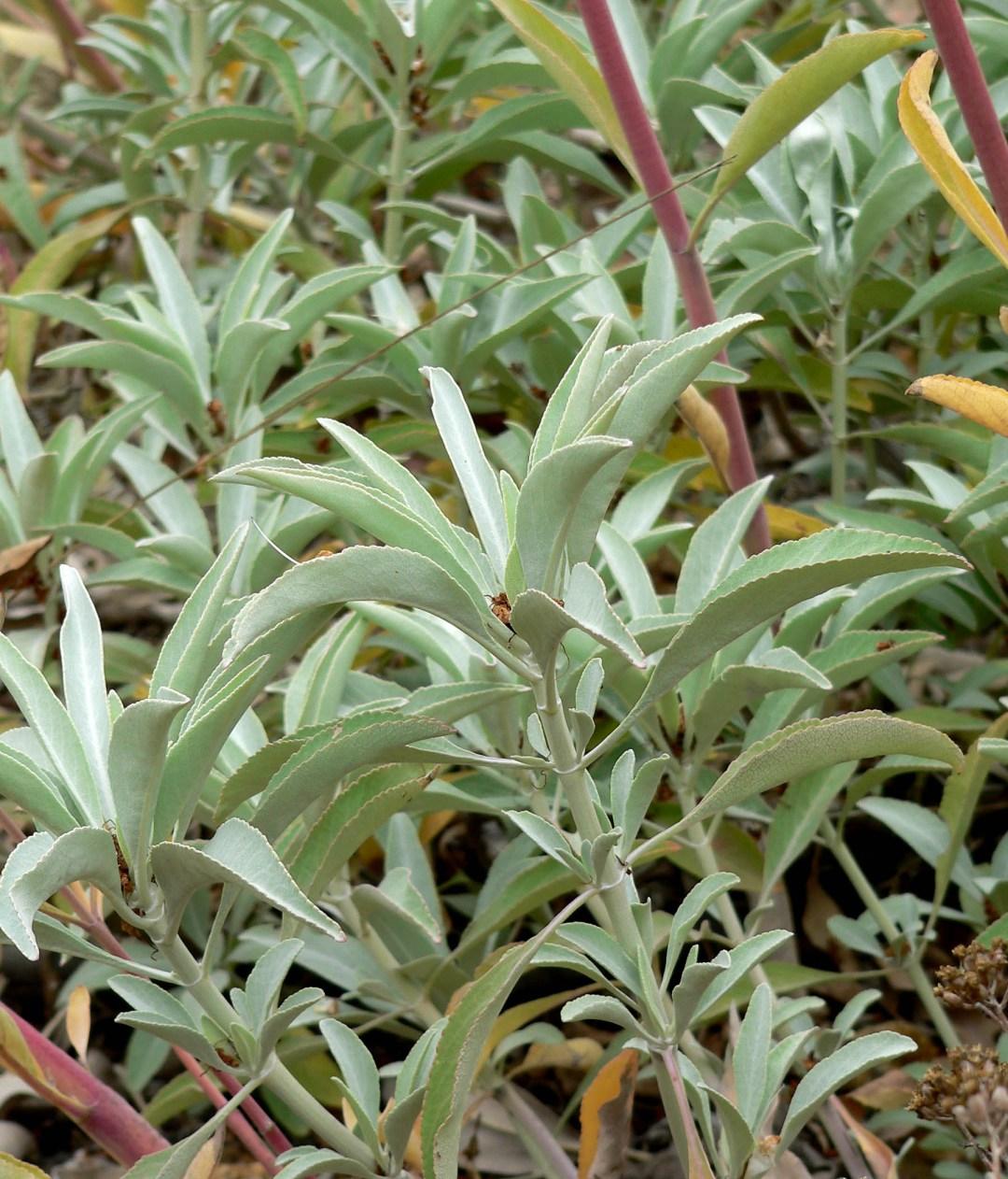 Archivo:Salvia apiana 2.jpg - Wikipedia, la enciclopedia libre