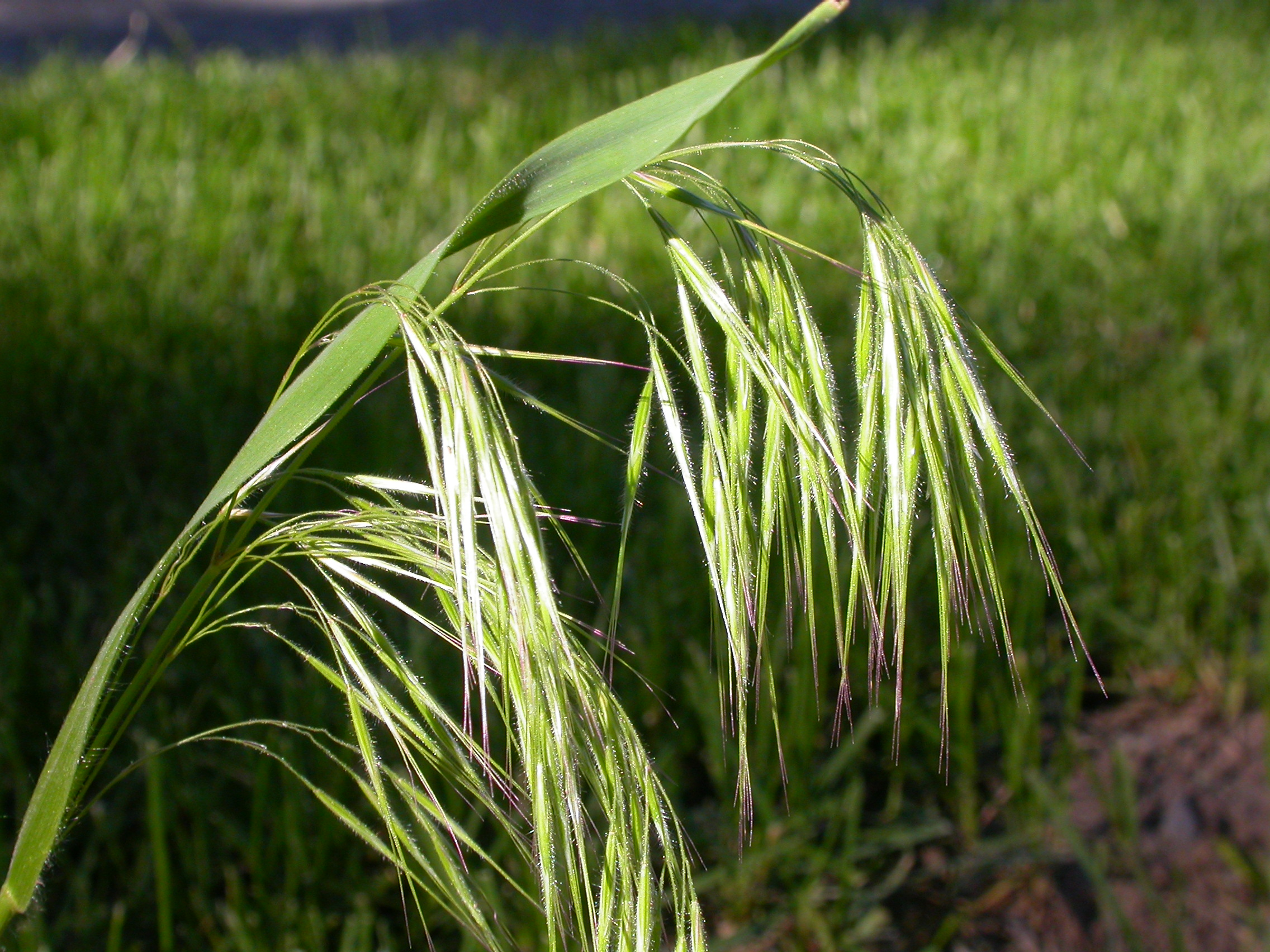 Cheatgrass, the Scourge of the Great Basin Desert, was introduced from Eurasia in the late 19th Century by ranchers and travelers.
