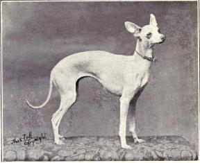 Italian Greyhound from 1915