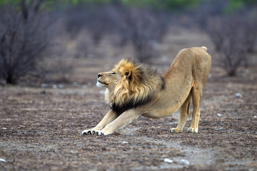 Can mental flexibility become as good as this lion stretching?