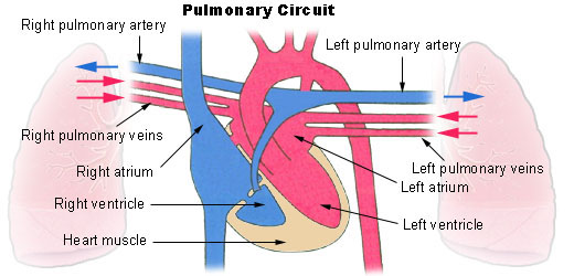 Circulation Blood Vessels Schematic Arterial Systemic