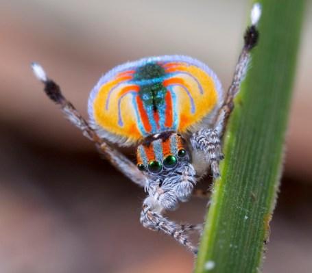 A posing PeacockSpider