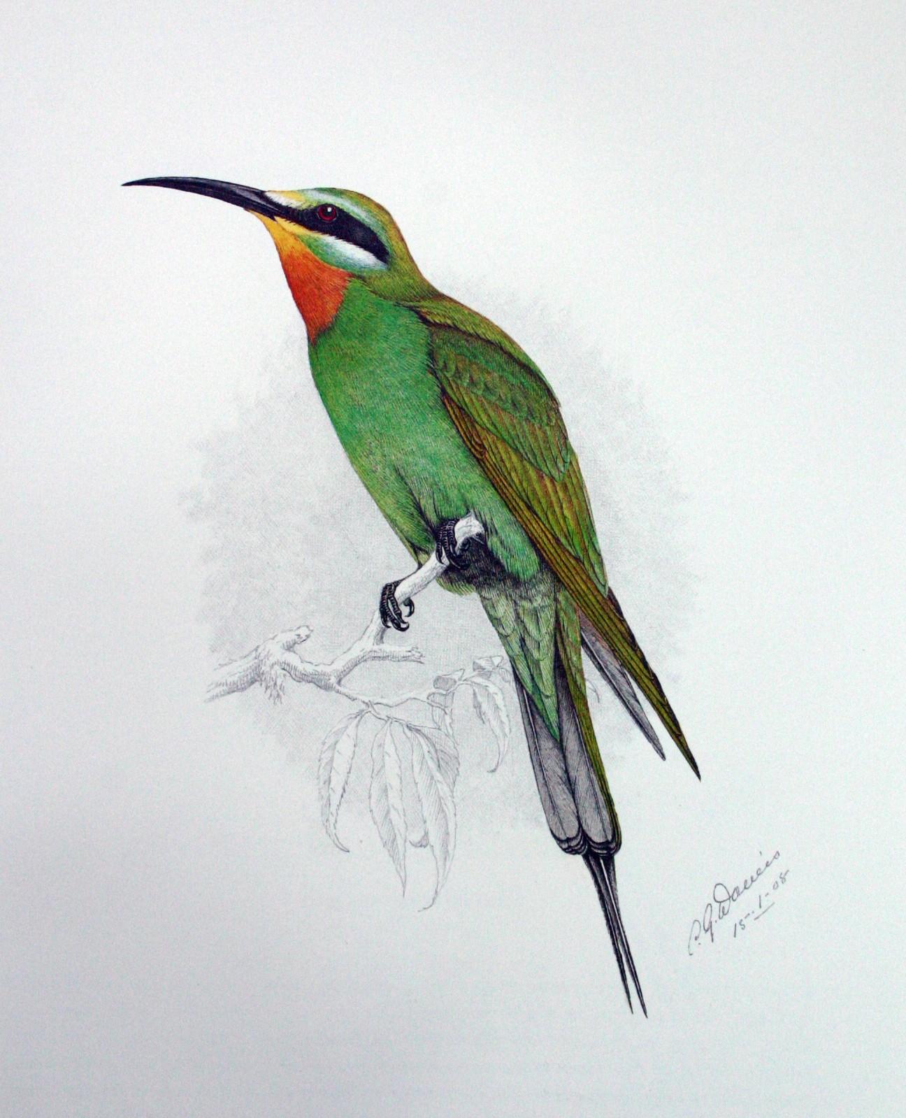 Abellerol gola-negre (Merops Persicus)