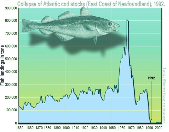 A graph showing cod landings in tons by year in the East Newfoundland fishery. Landings increase steadily and fluctuate from 100,000 to 250,000 between 1850 and 1950, before spiking to 600,000 in the 60s and 70s and 800,000 in the late 70s. The fishery collapses to zero in 1992.