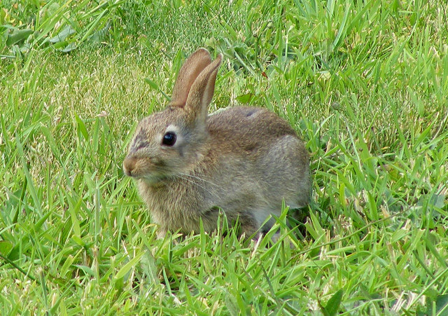 English: A Wild Rabbit at Lossiemouth Rabbits ...