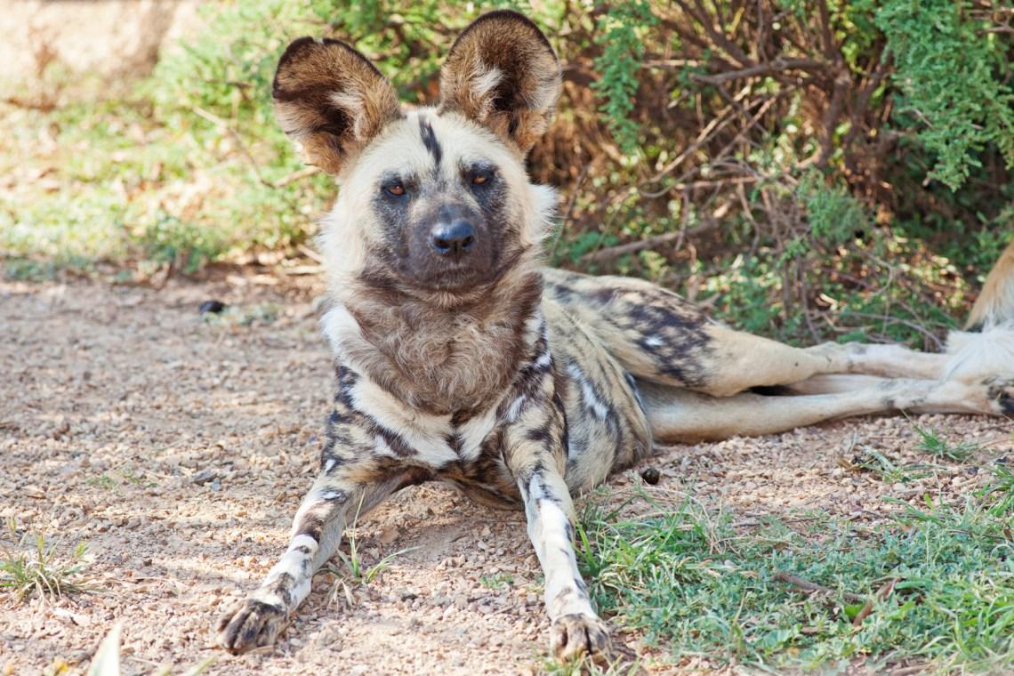 African wild dog Feb09 02 Baby Pitbull Dog For Sale