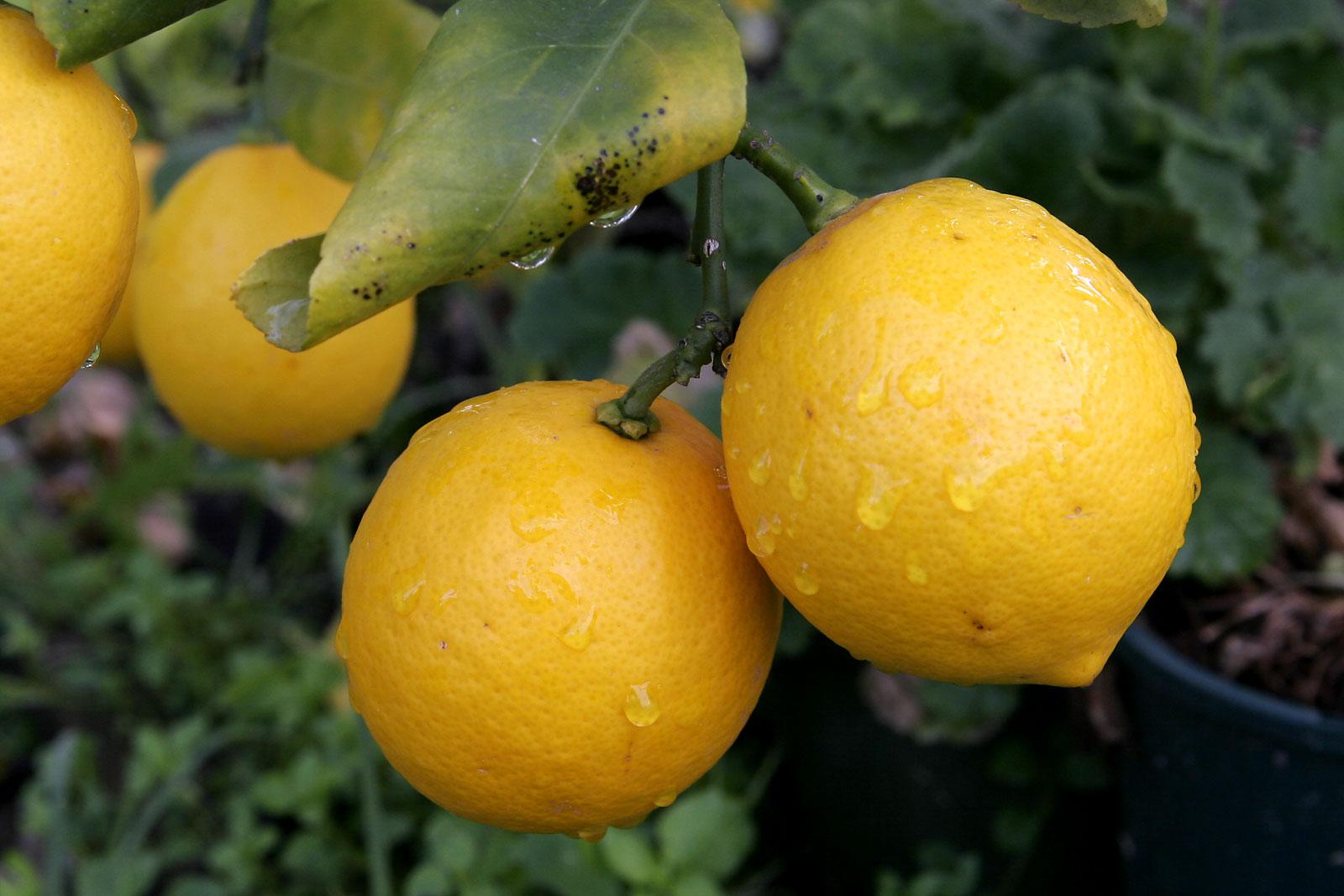 Mmm, citroner...