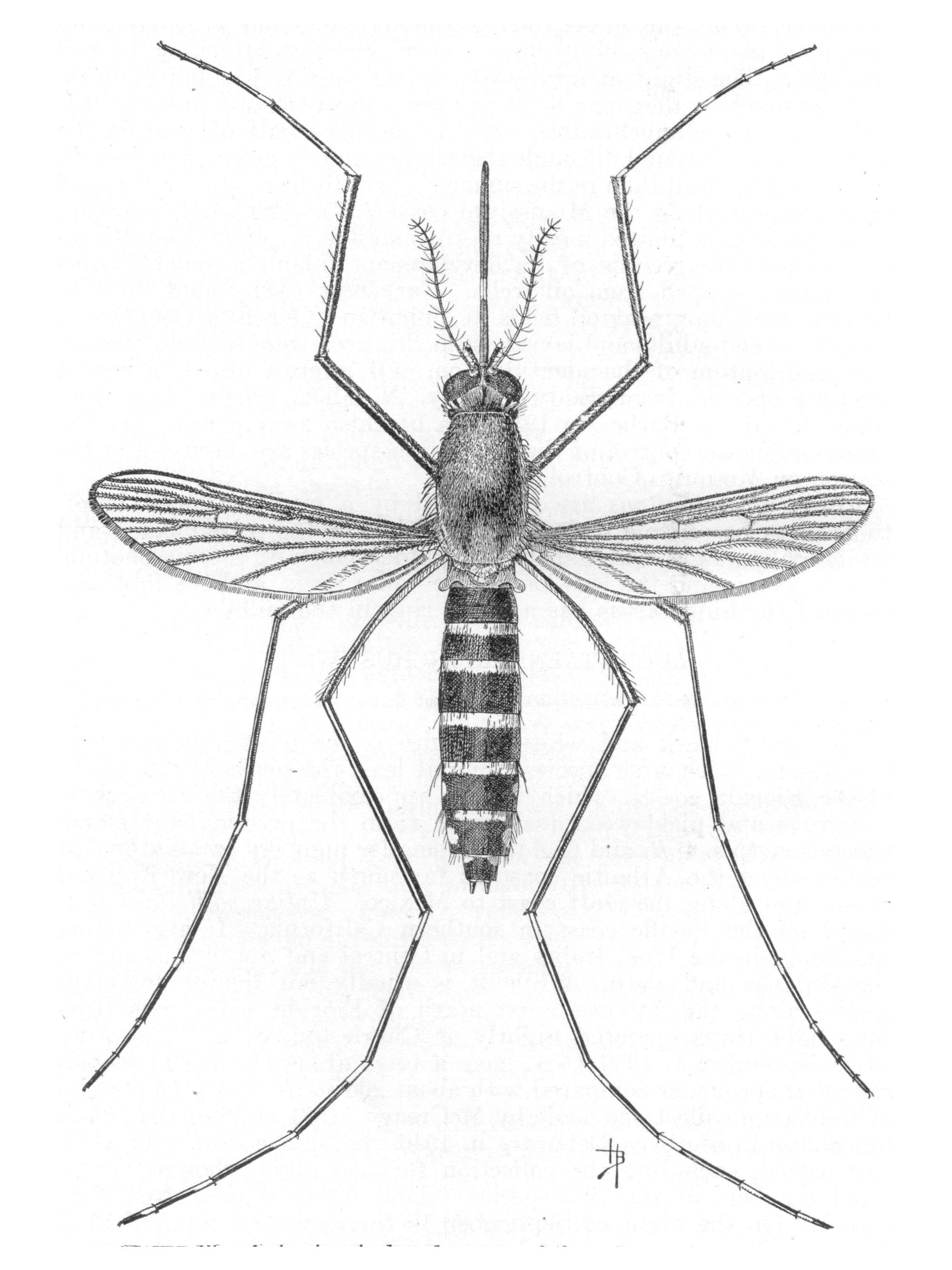 File Ochlerotatus Taeniorhynchus Syn Aedes Taeniorhynchus