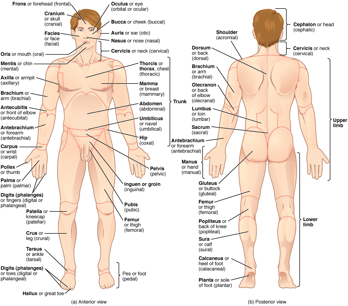 List Of Human Anatomical Regions
