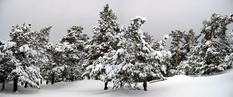 English: Snow covered trees.