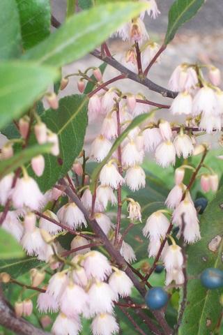 Elaeocarpus Reticulatus Wikipedia