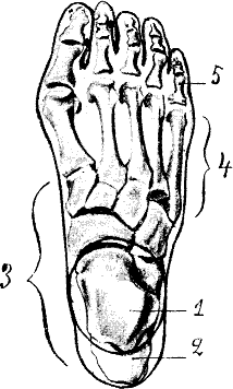 Drawing of a left human foot