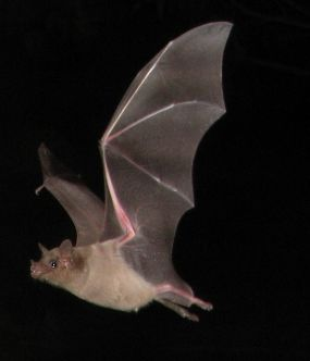 Lesser (Southern) Long-nosed Bat (Leptonycteri...