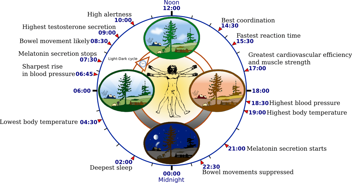 https://i2.wp.com/upload.wikimedia.org/wikipedia/commons/5/5f/Biological_clock_human.PNG