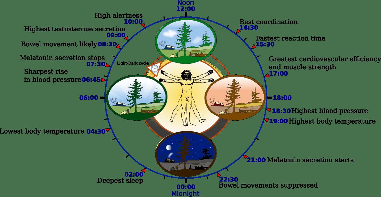 https://i2.wp.com/upload.wikimedia.org/wikipedia/commons/5/5f/Biological_clock_human.PNG