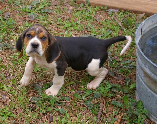 file treeing walker coonhound pup jpg wikimedia commons