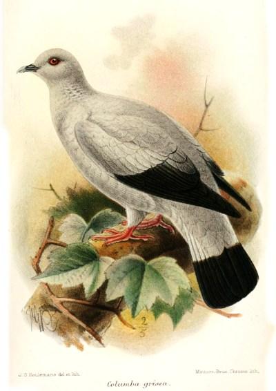 Silvery pigeon - Wikipedia