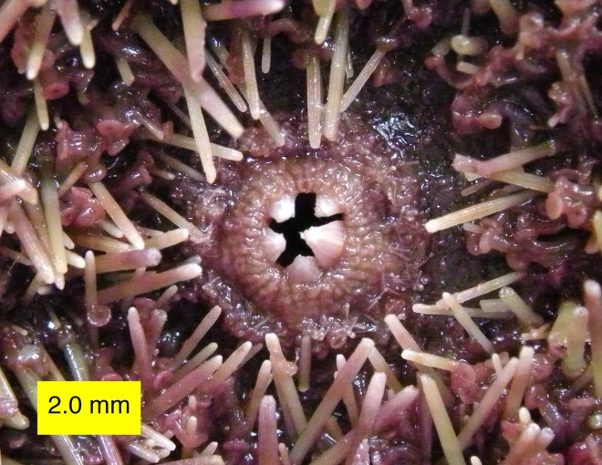 Underside of Strongylocentrotus purpuratus sea urchin showing the five pieces of shell material serving as its jaws. By Wilson44691 (Own work) [CC0], via Wikimedia Commons