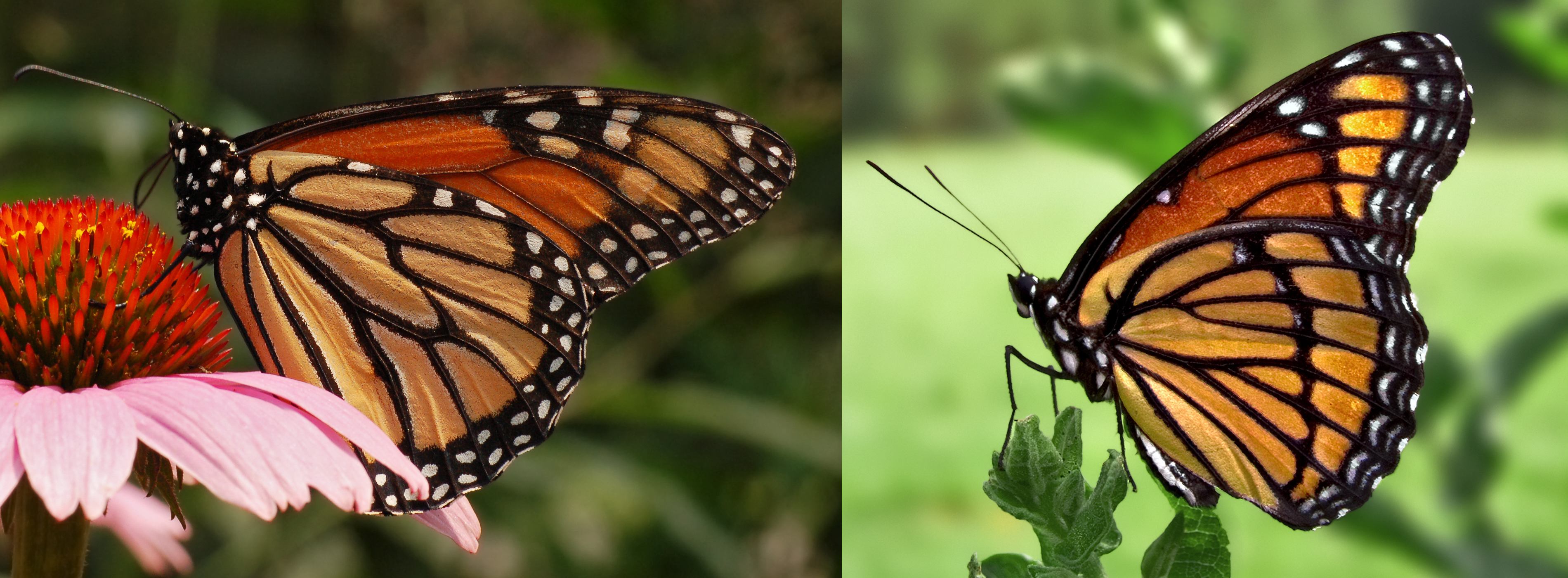 Year Of The Sphingidae Mimicry