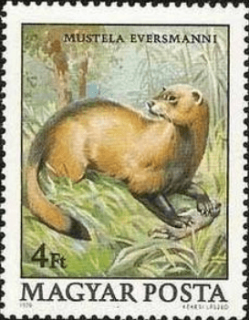 Steppe polecat, as illustrated on a 1979 Hunga...