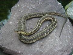 A young garter snake sunning itself on a rock.