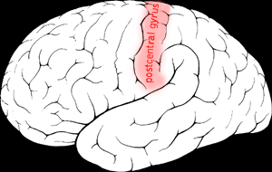 English: Postcentral gyrus in the human brain.