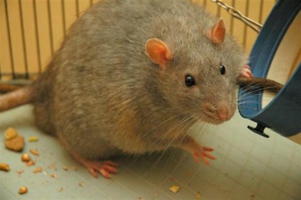 أمراض تنتقل طريق الحيوانات Rat_diabetic.jpg