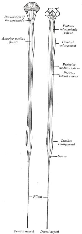 Diagrams of the medulla spinalis.