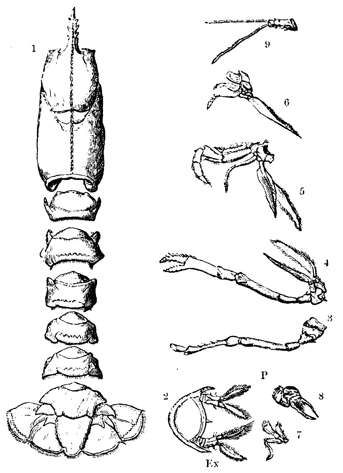 File Lobster Skeleton Mivart